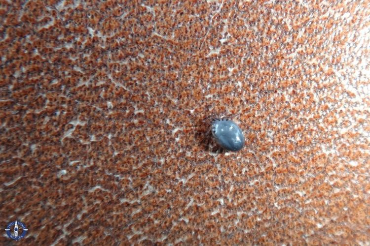 Engorged tick from our dog after removing it