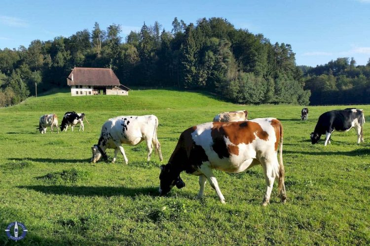 Cows while hiking at Hauterive Abbey near Posieux, Switzerland