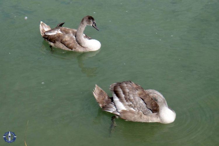 Swans sleeping on Lake Neuchatel in the Grande Caricaie wetlands