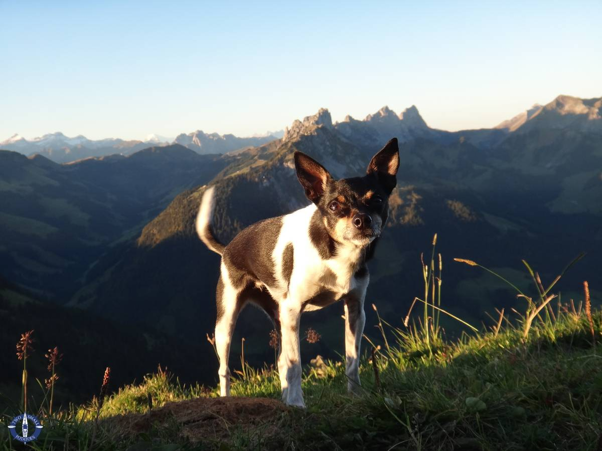 Our rat terrier climbing a mountain in Switzerland