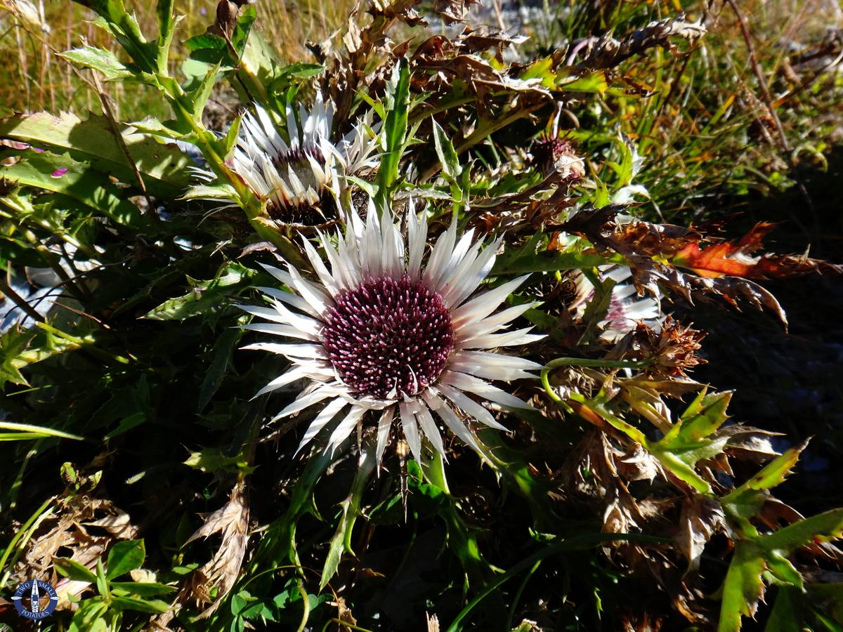 Thistle flowers blooming in the Bernese Alps while hiking in Switzerland