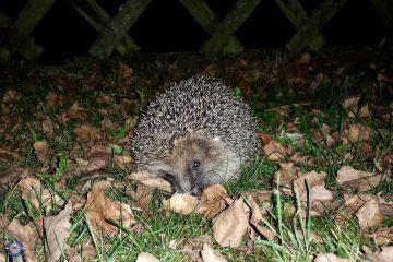 Hedgehogs in our yard in Switzerland
