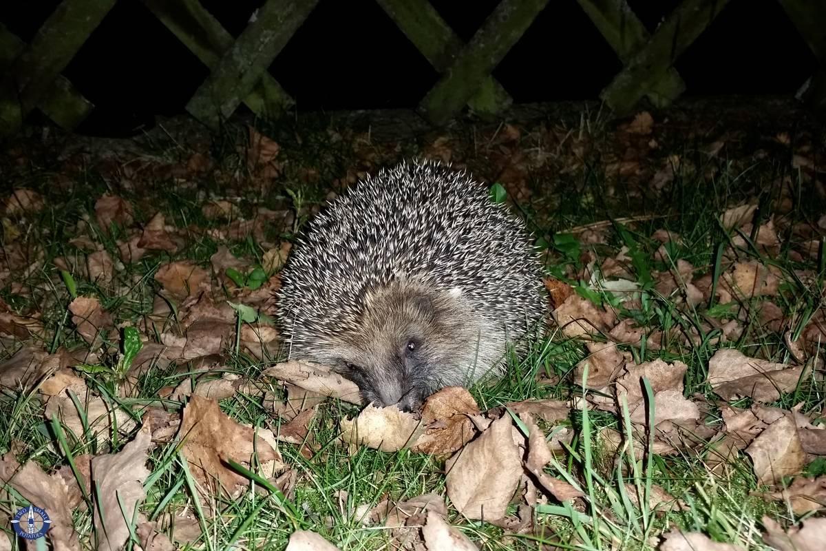 Wild hedgehogs in Switzerland