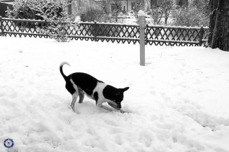Our rat terrier Touille digs for her ball in the snow in our yard in Switzerland