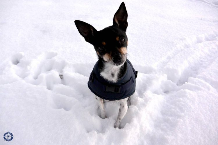 Touille the Terrier loves the dog days of winter in Switzerland