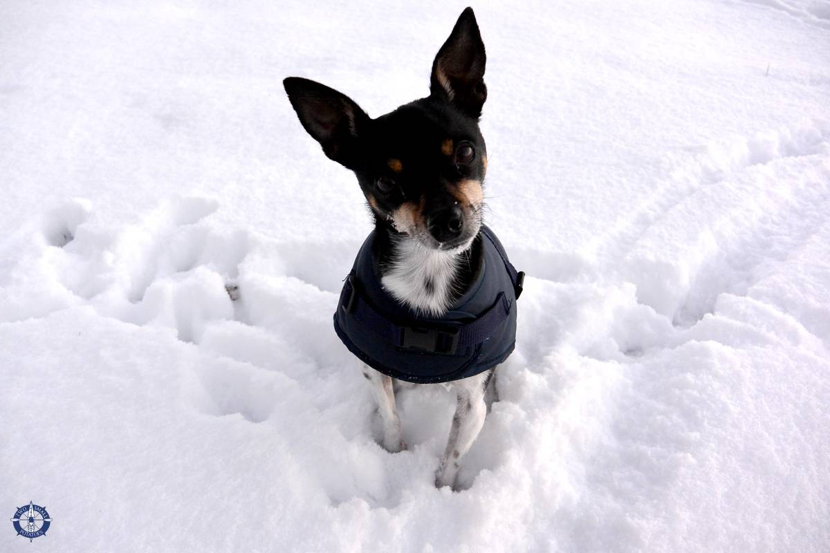 Touille the terrier in the dog days of winter