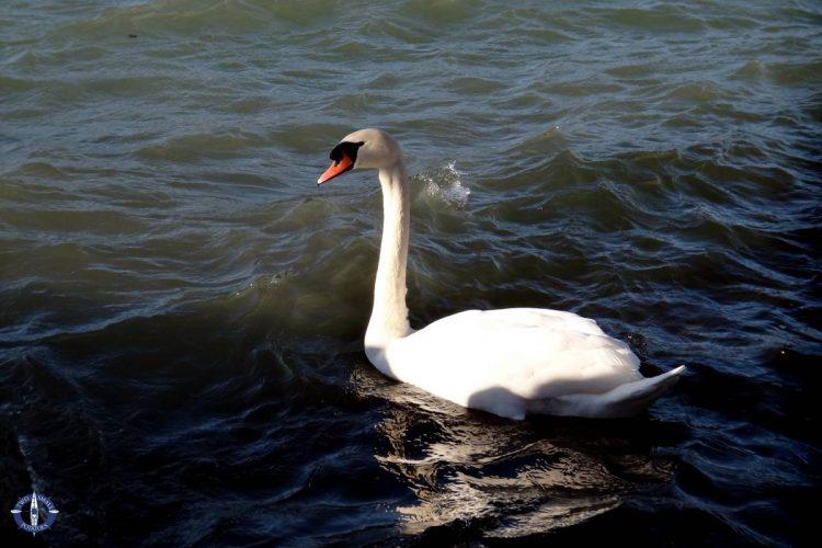 Swan at Lake Neuchatel, Switzerland