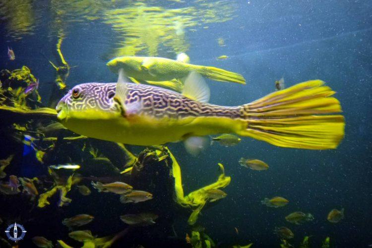 Gold marigold pufferfish at Basel Zoo