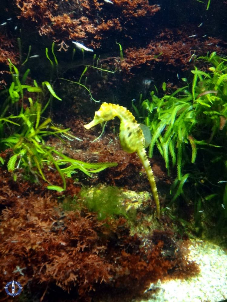 Pot bellied seahorse at the Basel Aquarium