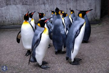 King penguins at the Penguin Parade in Basel, Switzerland