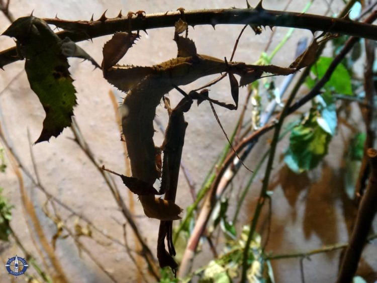 Giant prickly stick insect at Basel Zoo, Switzerland