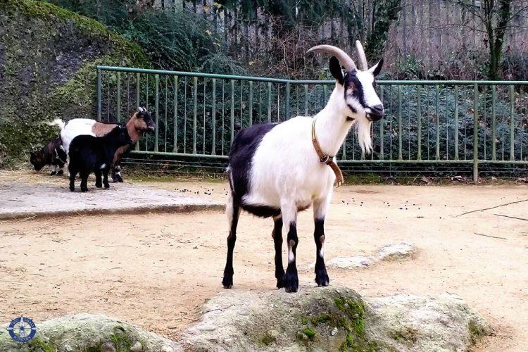 Swiss peacock goat at Zoo Basel, Switzerland