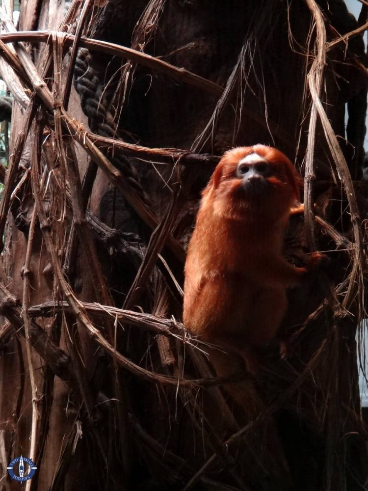 Golden lion tamarin at the zoo in Basel