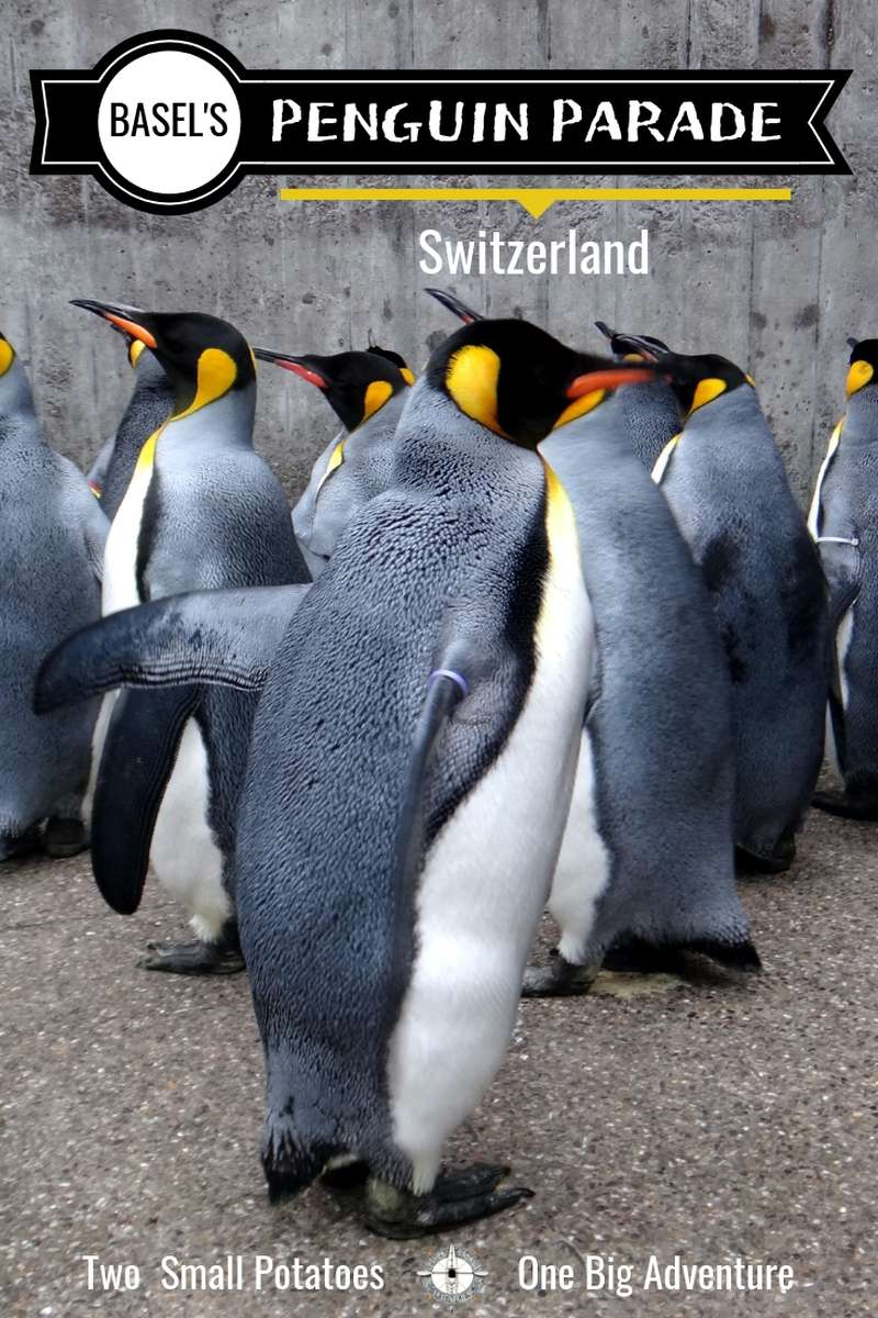 Zoo Basel in Switzerland lets visitors get up close and personal with an adorable waddle of king penguins.  #BaselZoo #penguins #TatersTravels