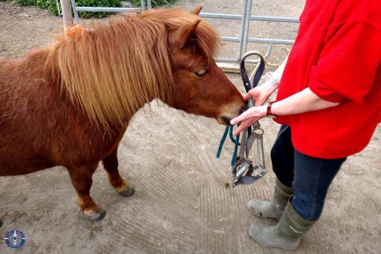 Pony at Chestnut stables in Corserey, Switzerland