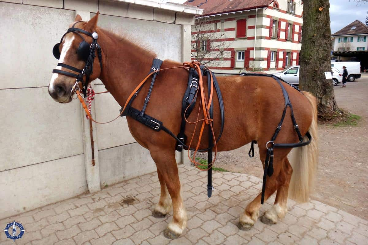 Franches-Montagnes horse in Corserey, Switzerland