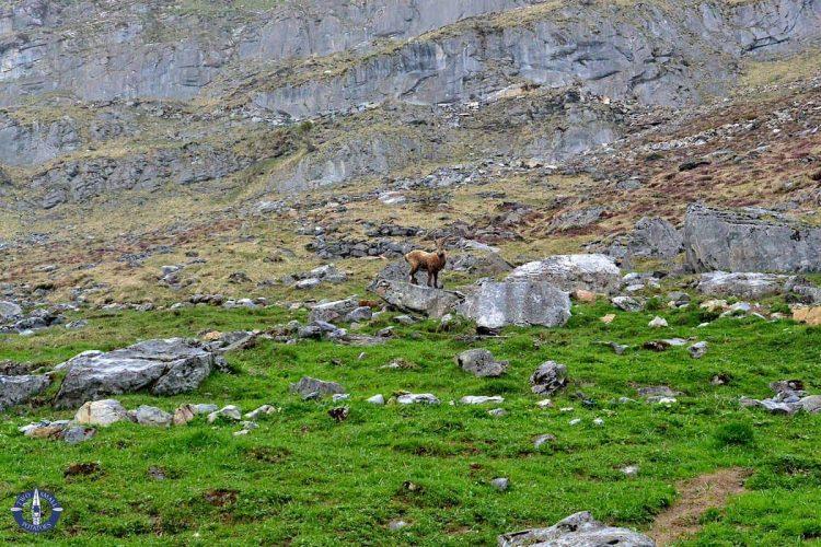 Alpine ibex above Oeschinsee, Switzerland