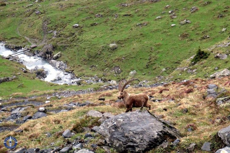 Alpine ibex running during our hike at Oeschinensee, Switzerland