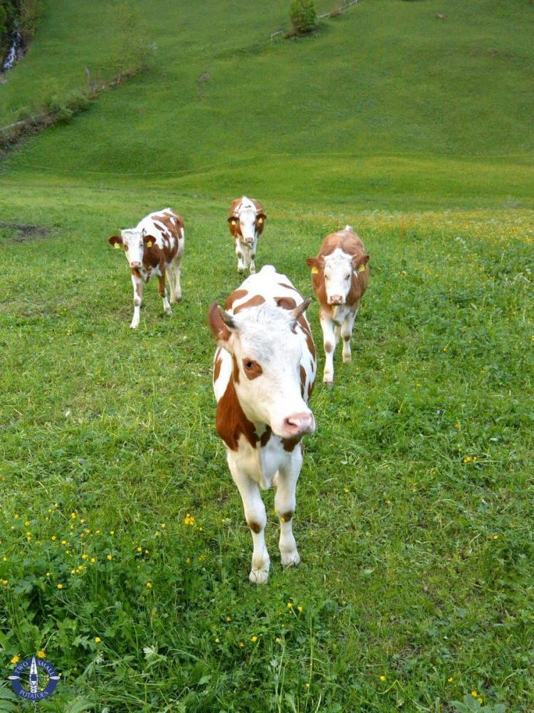 Cute cows while hiking in Lauterbrunnen Valley