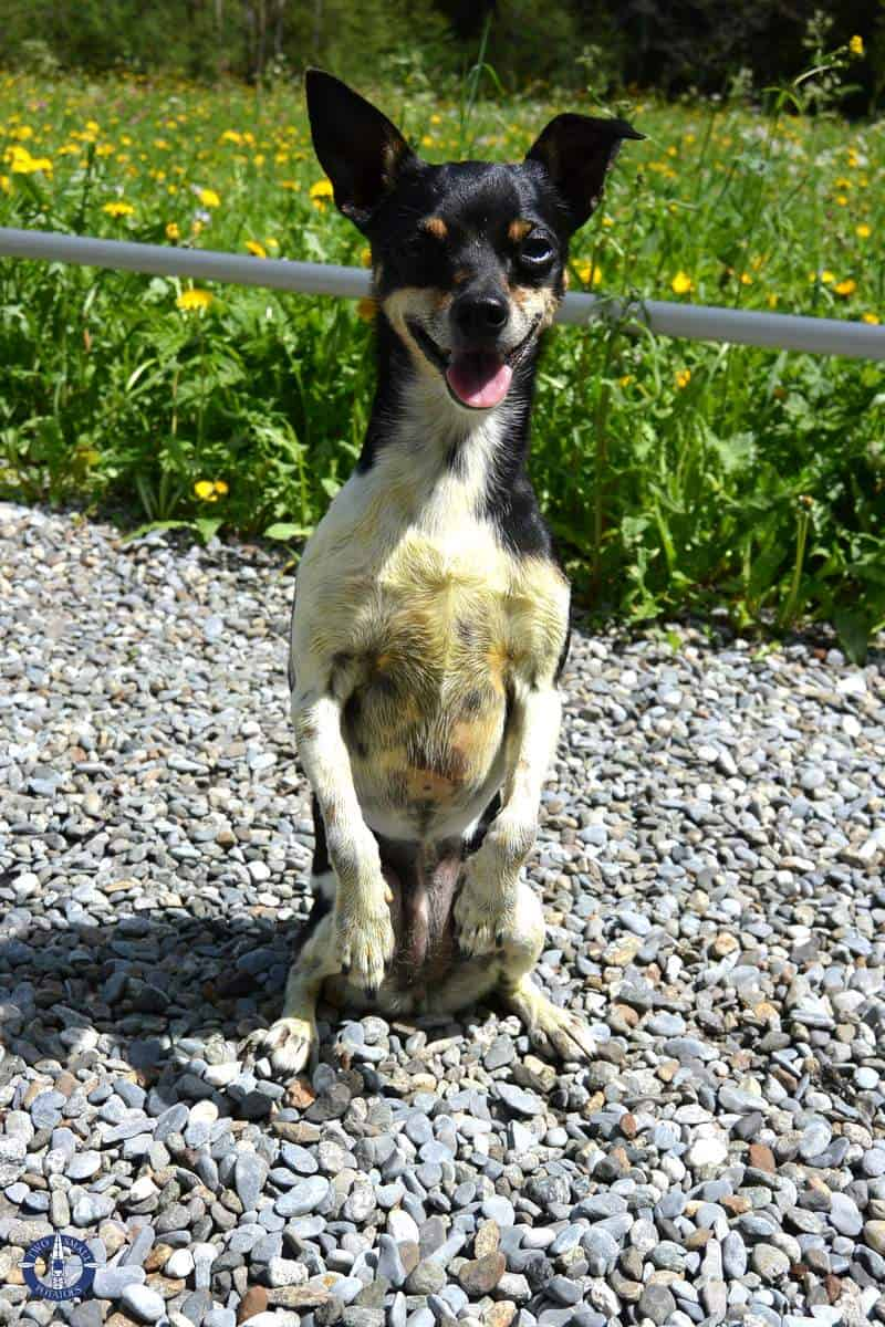 Touille the terrier romping at Truemmelbach Falls