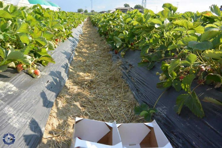 Luedi's u-pick strawberries in Switzerland