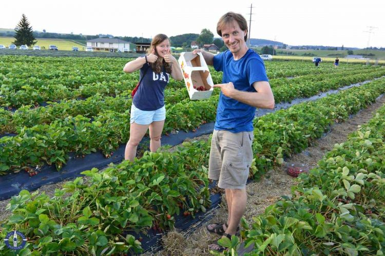 u-pick strawberries in Switzerland from Luedi's Erdbeerland in Fribourg