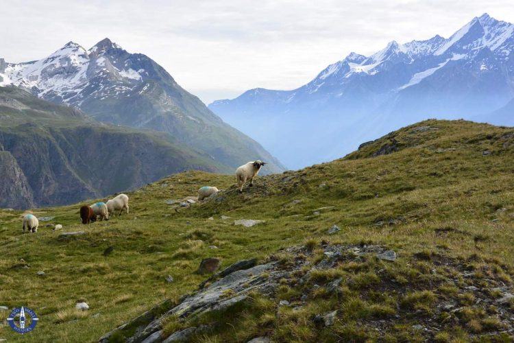 Valais Blacknose sheep in the Swiss Alps
