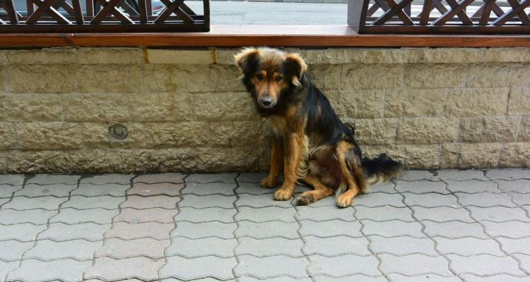 Street dog in Bran, Romania