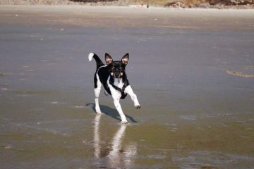 Rat terrier on the Hobbit Trail, Oregon Coast