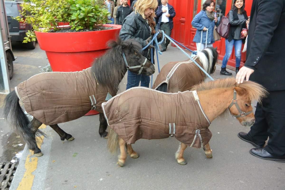 Ponies for a show at Moulin Rouge, Paris