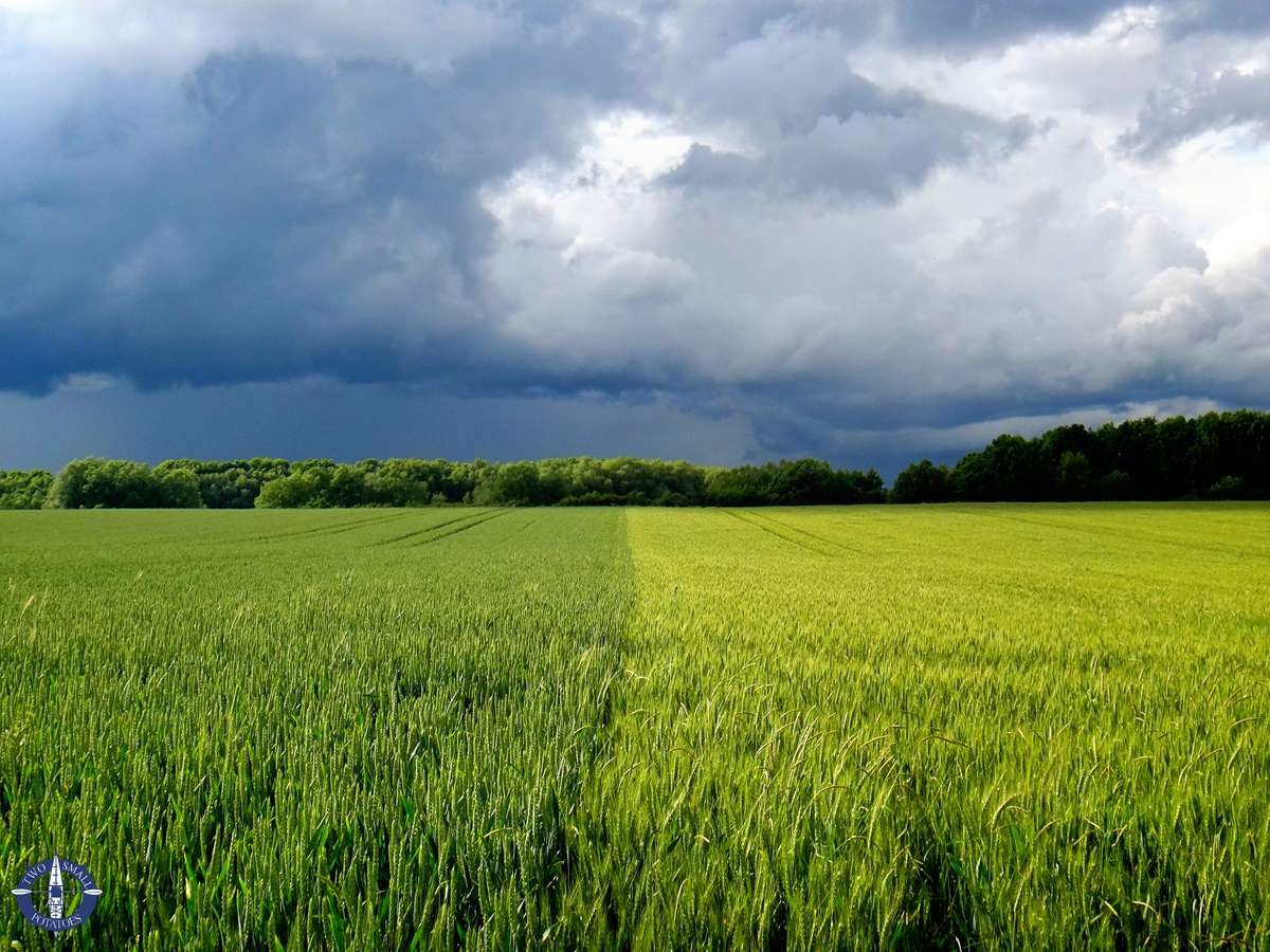 Image of wheat fields in storm in Germany for sale
