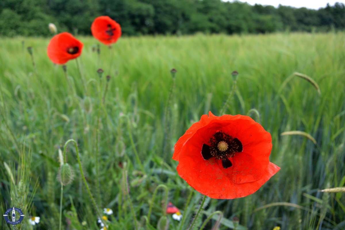 Red poppies in a field in Thuringia, Germany