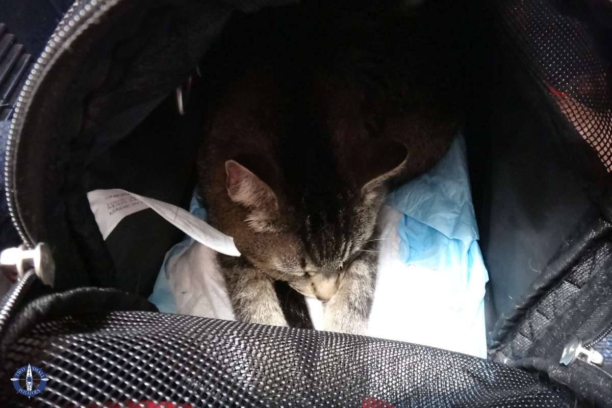 Tica our cat, moving overseas with pets from the US to Europe