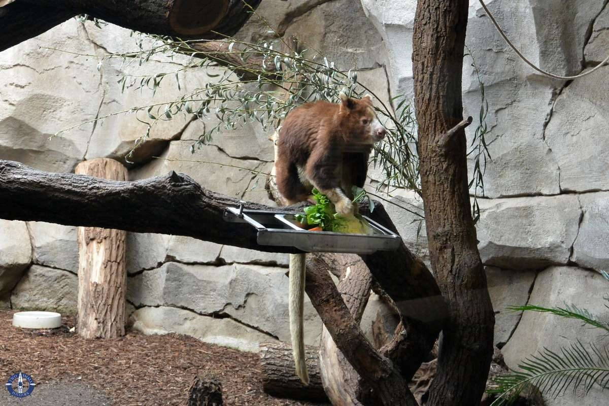 Matschie's tree kangaroo at the Cologne Zoo, Germany