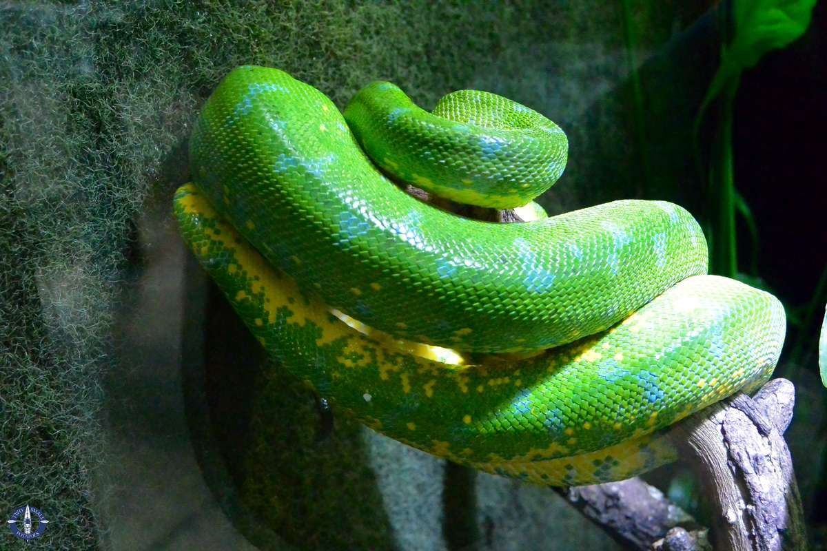 Green tree python at the Cologne Zoo, Germany
