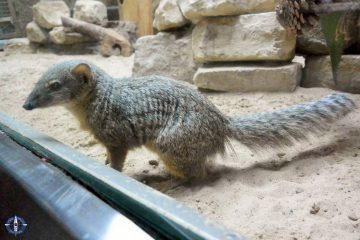 Madagascar narrow-striped mongoose at Zoo Berlin in Germany