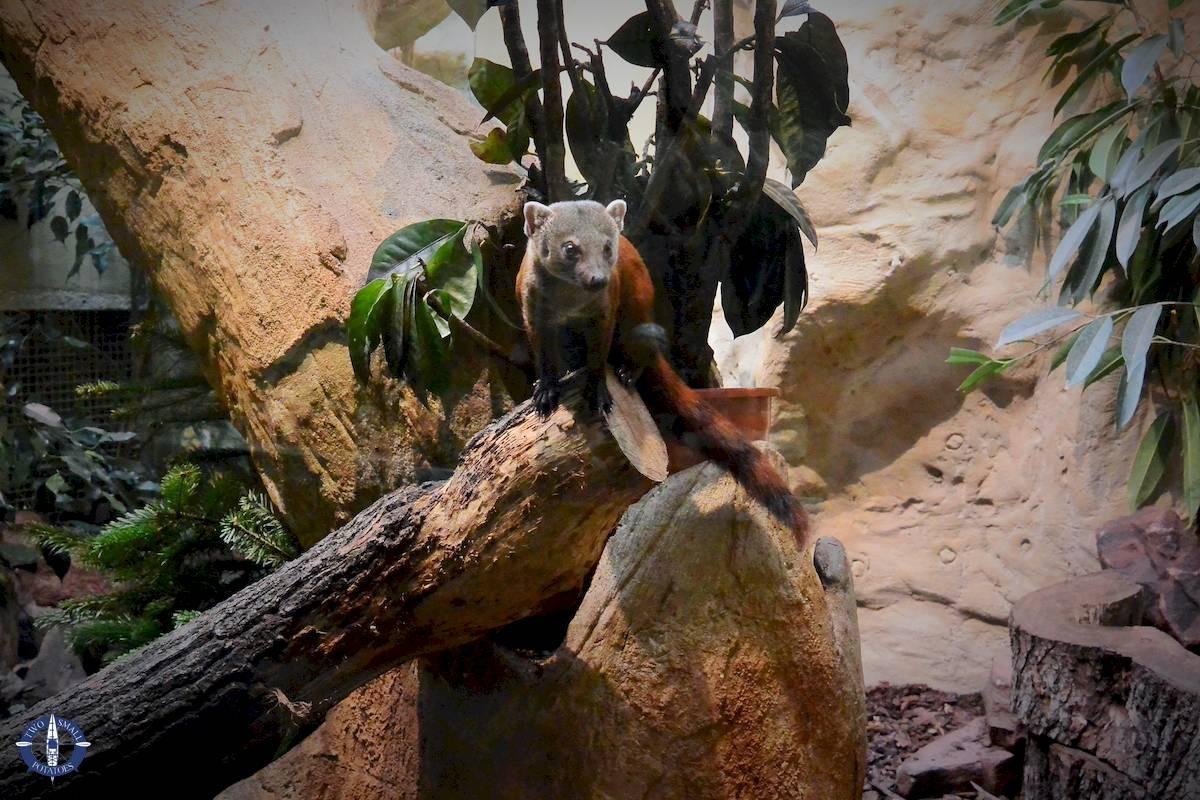 Madagascar ring-tailed mongoose at Zoo Berlin, Germany