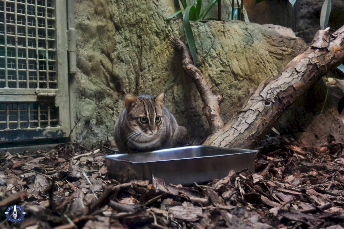 Rusty spotted cat at Berlin Zoo in Germany