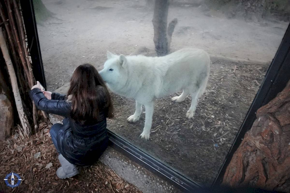 Arctic wolf at the Berlin Zoo in Germany