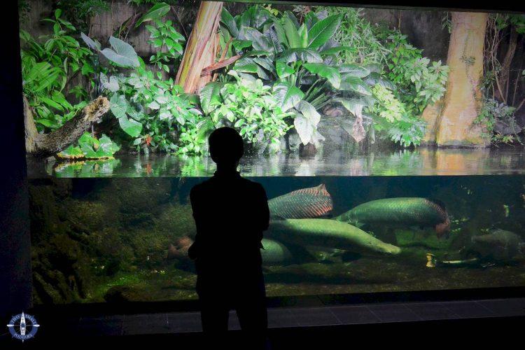 Arapaima freshwater fish from the Amazon at Zoo Berlin