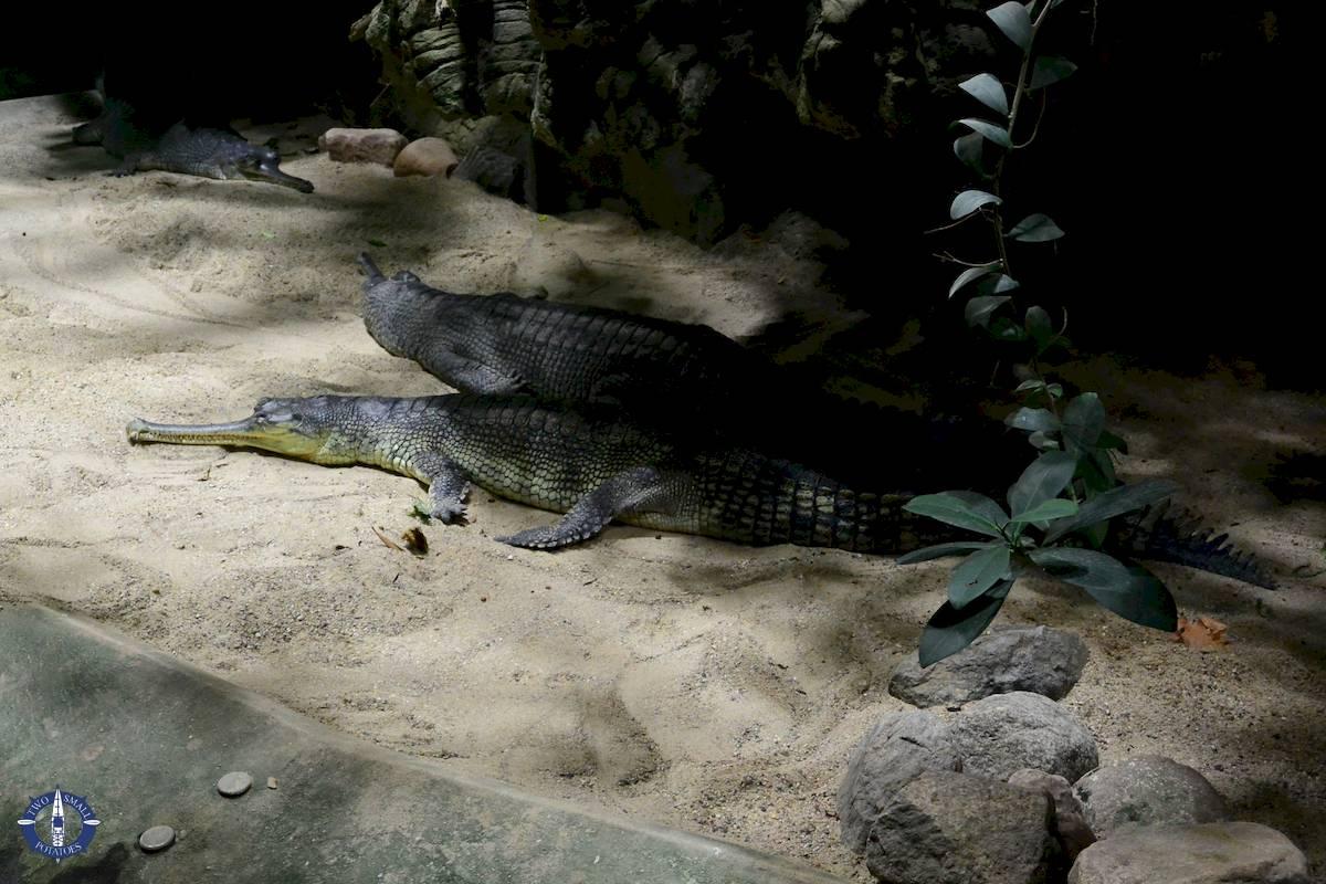 Gharial at Zoo Berlin and Aquarium, Germany
